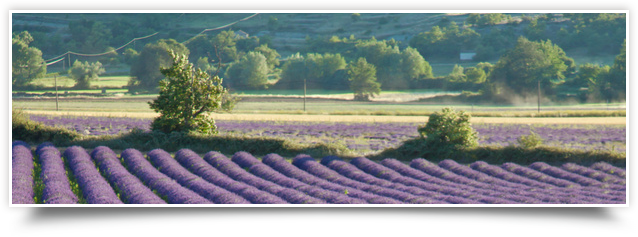 Lavender fields in the Luberon
